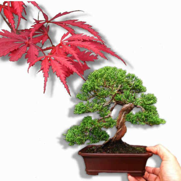 Bonsai & Pflanzen